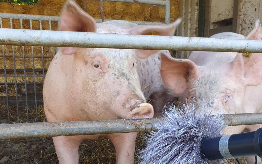 Ein Schwein beschnuppert ein Mikrofon mit Windschutz